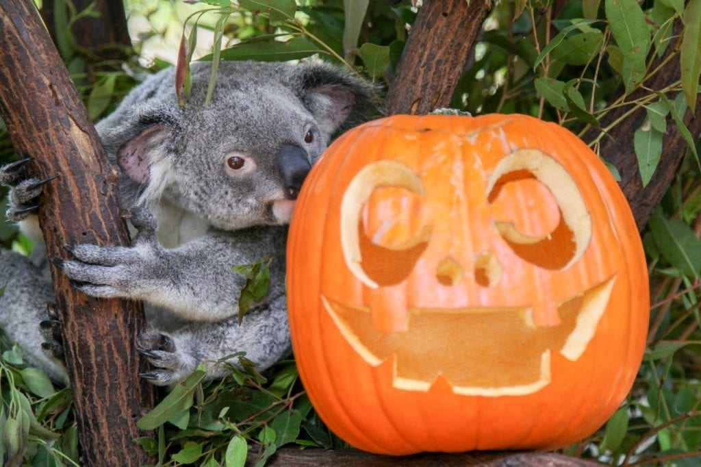 Lone Pine Sanctuary Koala Halloween